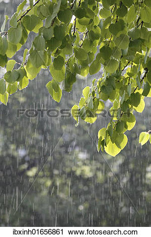 Stock Photography of Katsura tree (Cercidiphyllum) during a summer.