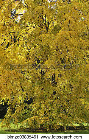 "Stock Photography of ""Katsura Tree (Cercidiphyllum japonicum) in."