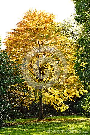 Katsura Tree Stock Photo.