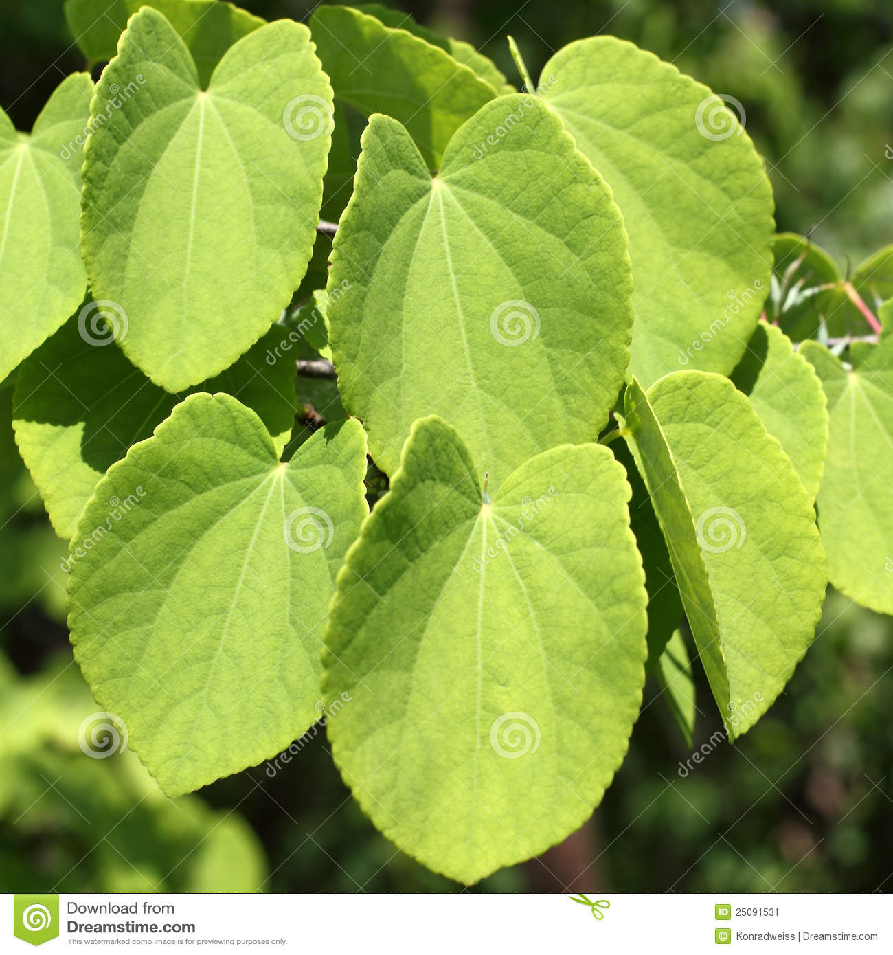 Leaves Of Katsura, Cercidiphyllum Japonicum Stock Image.