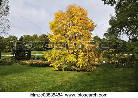 "Stock Photo of ""Katsura Tree (Cercidiphyllum japonicum) in autumn."