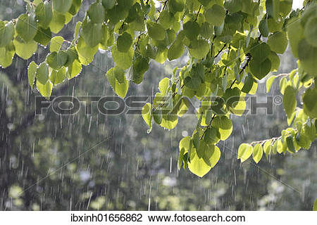 Stock Photo of Katsura tree (Cercidiphyllum) during a summer rain.