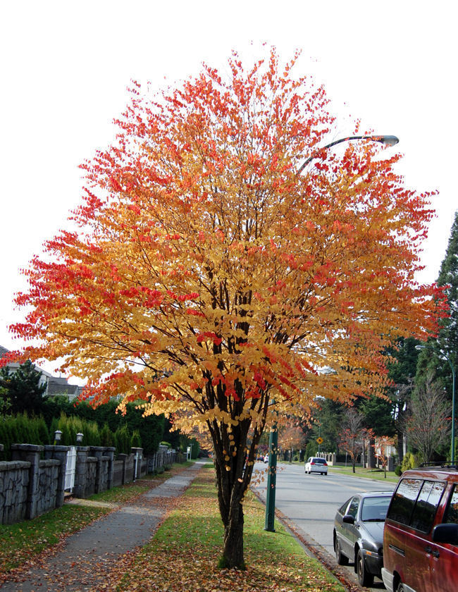 Katsura trees (Cercidiphyllum japonicum) can give you a blast of.