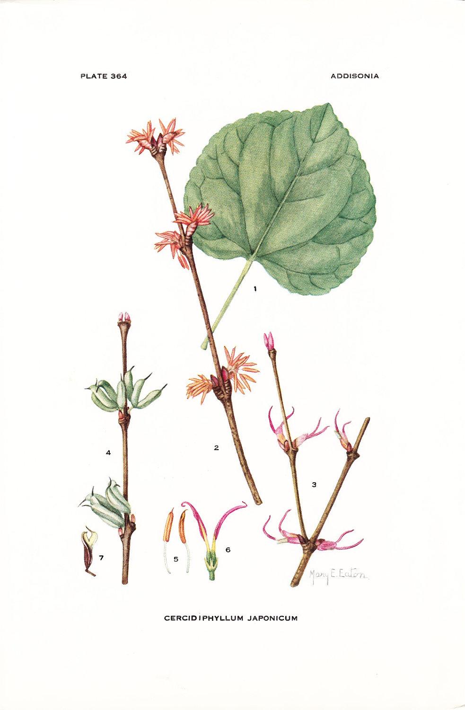 1926 Botany Print Cercidiphyllum Japonicum Katsura by Holcroft.