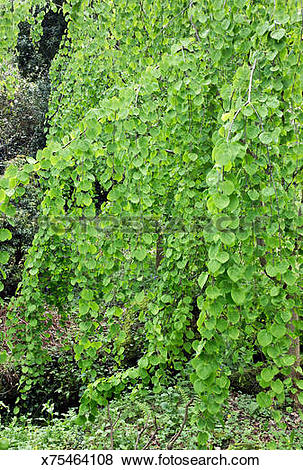Pictures of Cercidiphyllum Japonicum weeping Katsura tree.