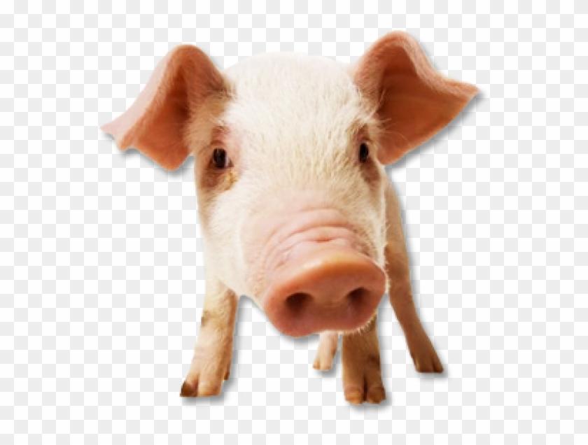Pig Png Free Download.