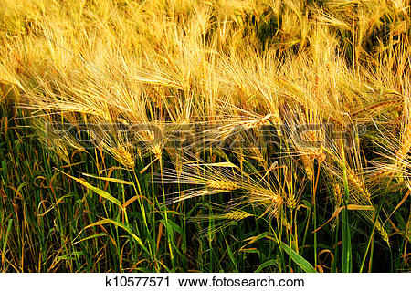 Stock Photography of Beautiful barley cereal field k10577571.