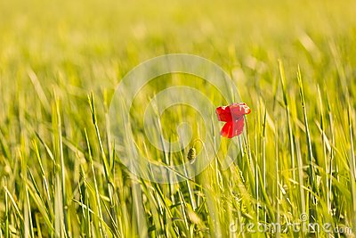 Poppy Flower Growing On Cereal Field Stock Photo.