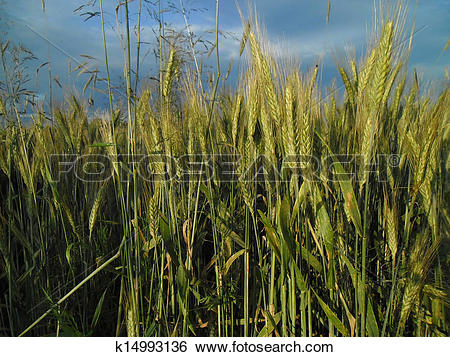 Stock Images of Summer cereal field. k14993136.