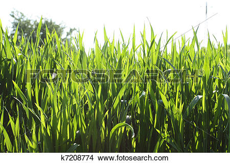 Stock Photo of Cereal field close up k7208774.