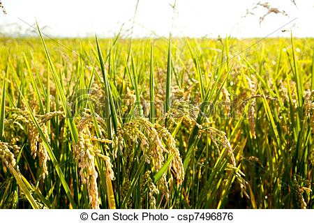 Stock Image of Cereal rice fields with ripe spikes closeup macro.