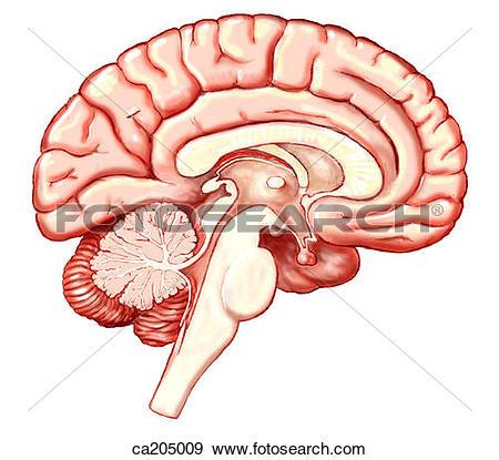 Cerebellum Clipart and Stock Illustrations. 3,415 cerebellum.