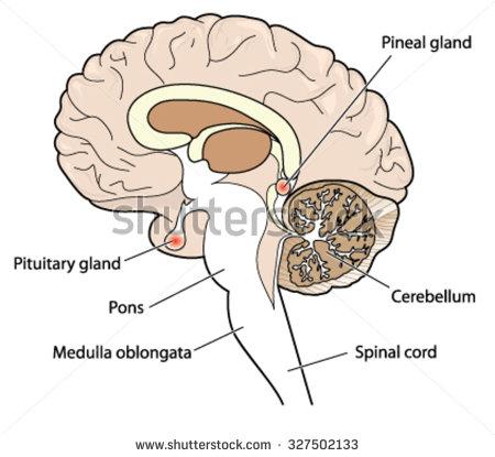 cerebellum.
