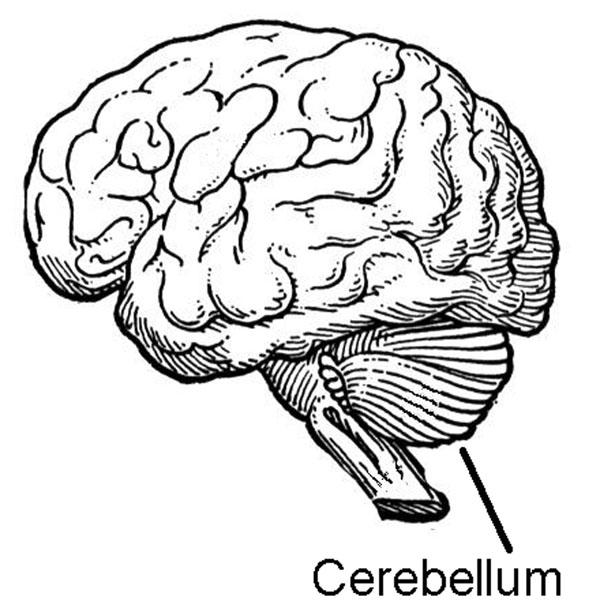The Cerebellum.