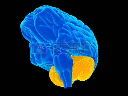 6,223 Cerebellum Stock Vector Illustration And Royalty Free.