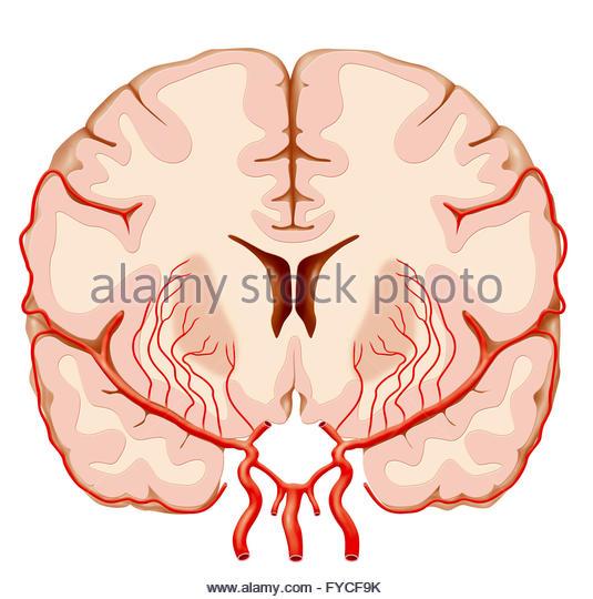 Cerebral Circulation Stock Photos & Cerebral Circulation Stock.