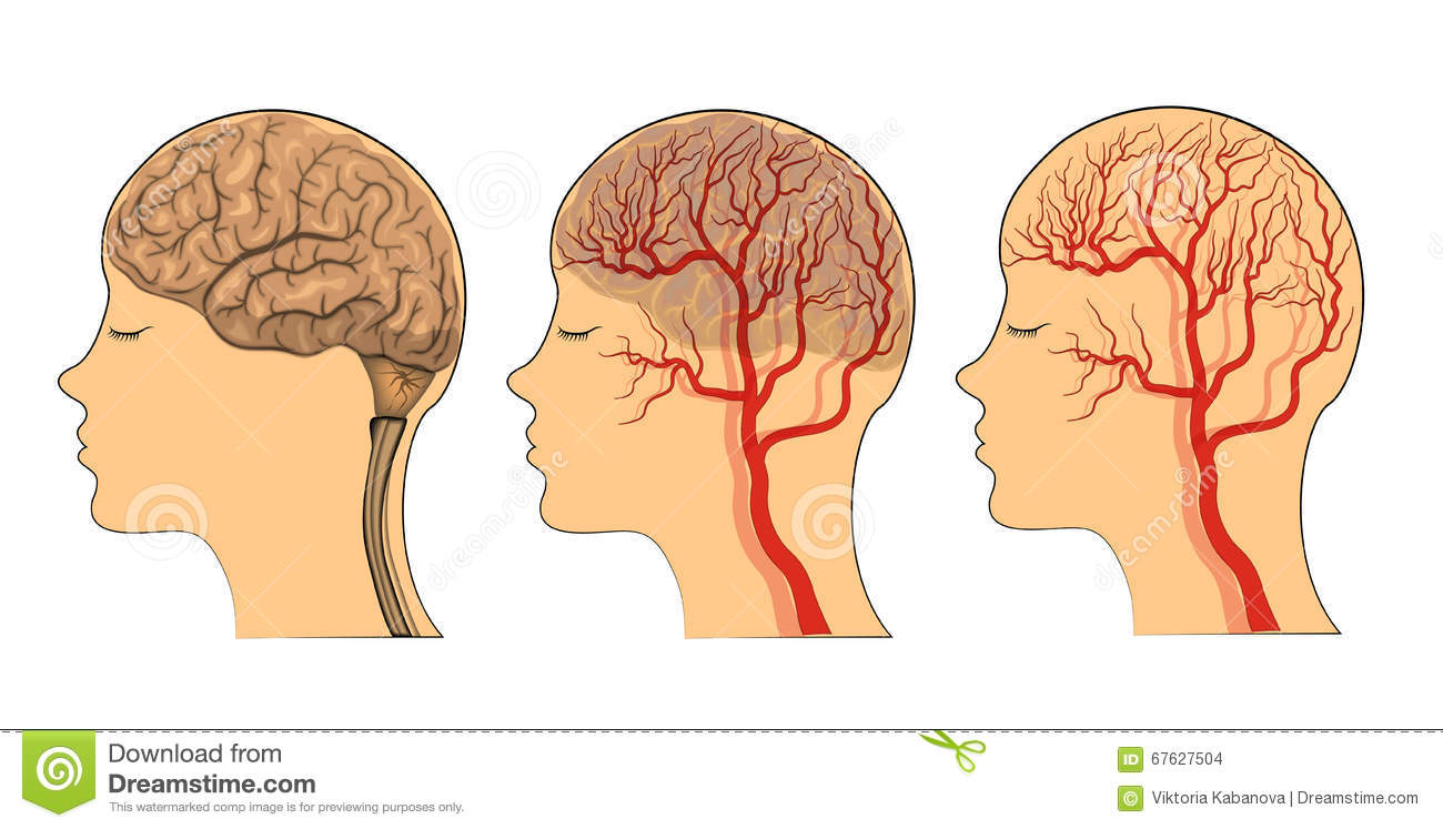 The Brain , The Vessels Of The Brain Stock Vector.