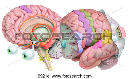 Clipart of Cerebral Hemispheres Unlabeled 9921e.