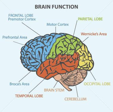 Brain diagram clipart.