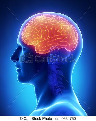 Stock Illustration of Brain CEREBRUM anatomy.