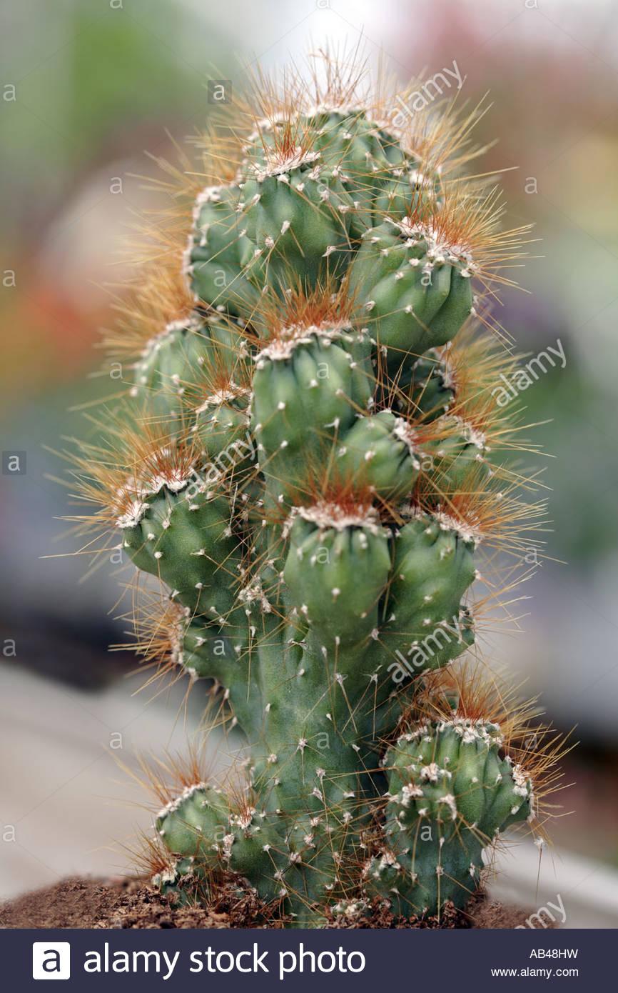 Peruvian Cactus Cereus Peruvianus Stock Photos & Peruvian Cactus.