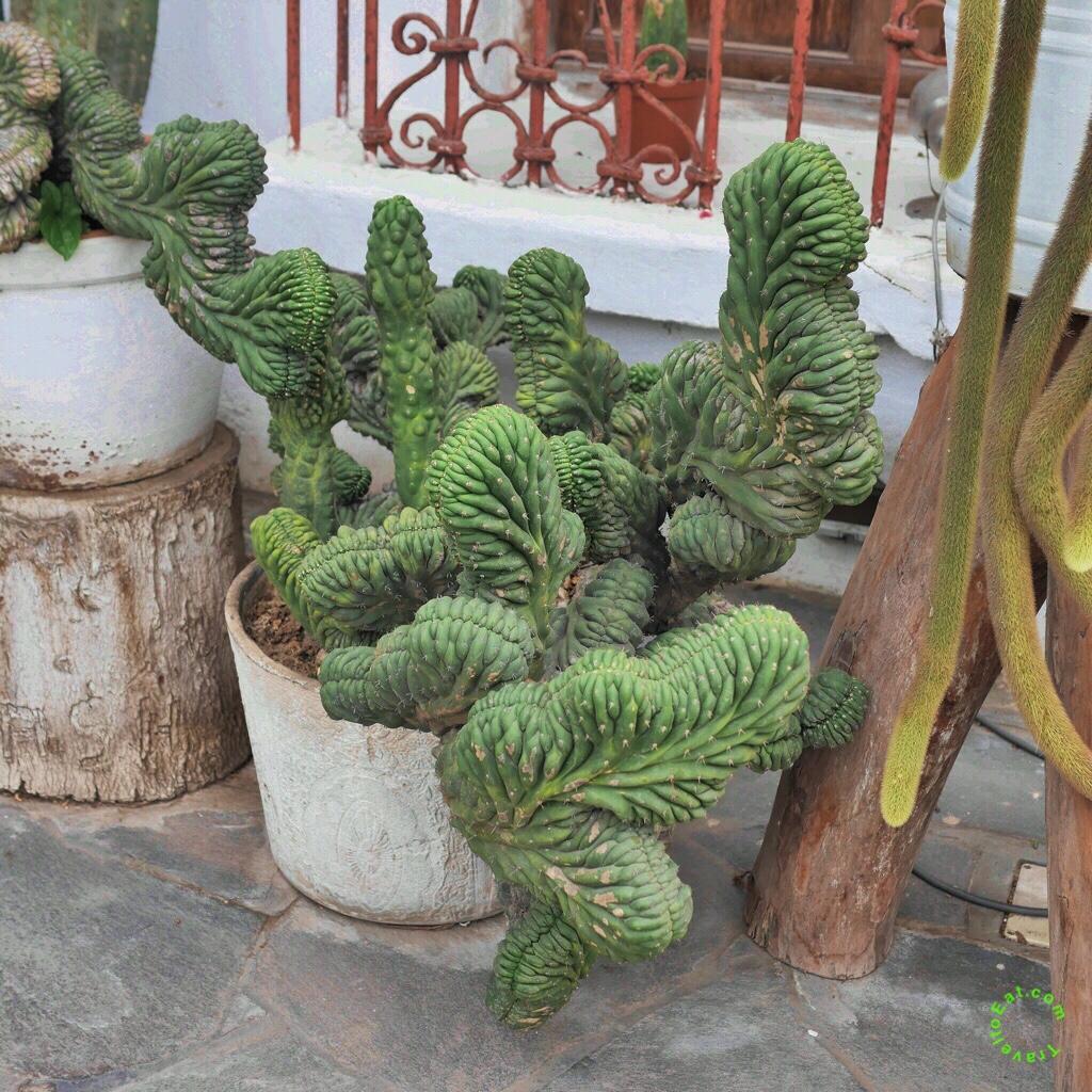Cactus at the Larco Museum. Peru.