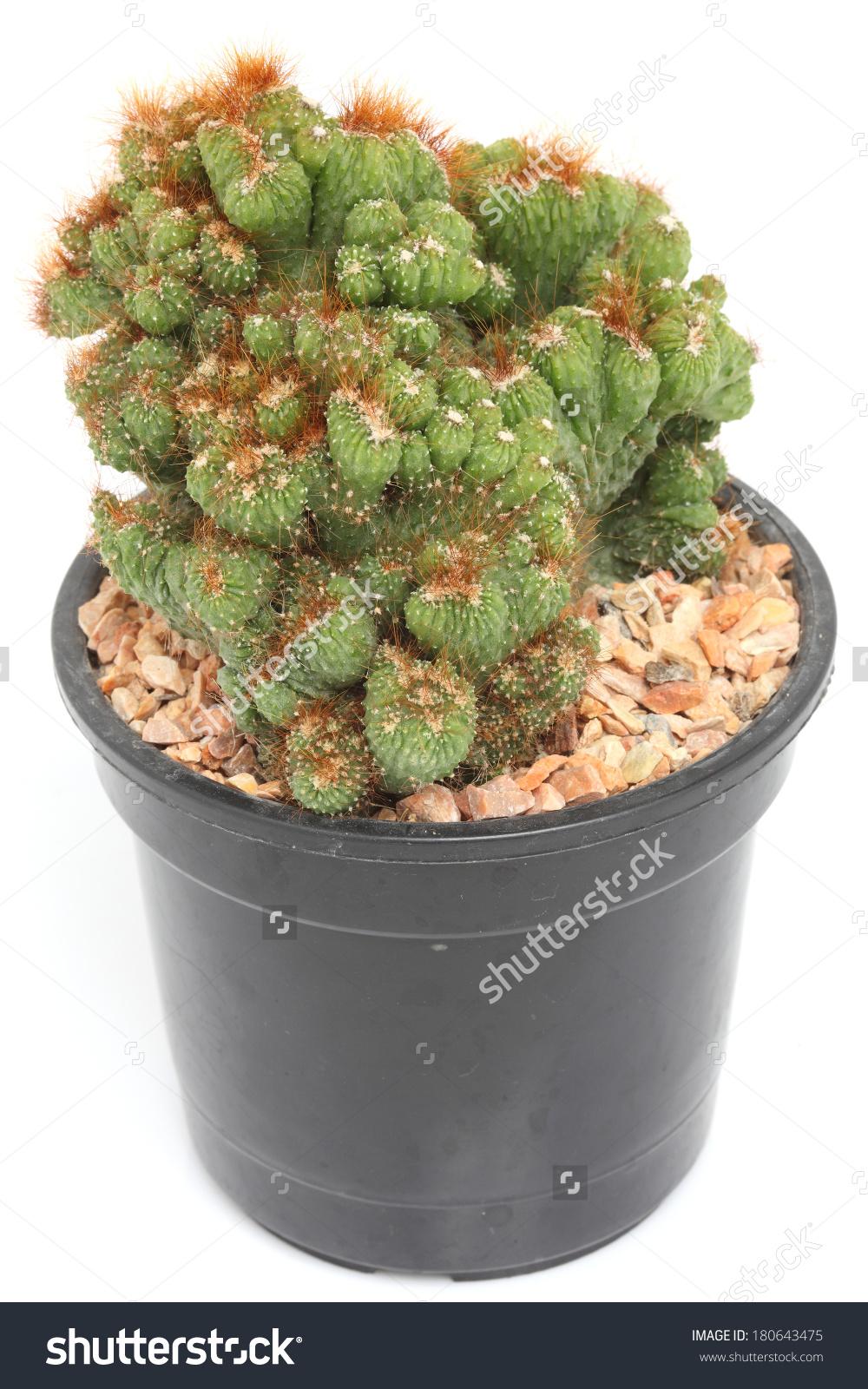 Cereus Peruvianus Monstrosus Cactus Pot Stock Photo 180643475.