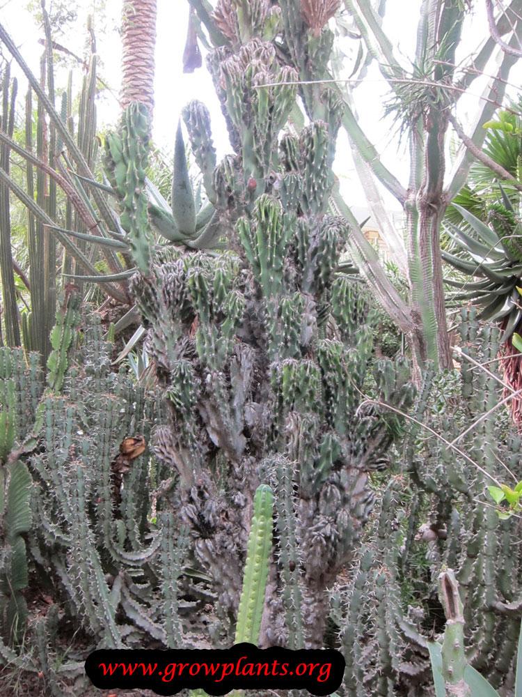 Cereus peruvianus monstrose.