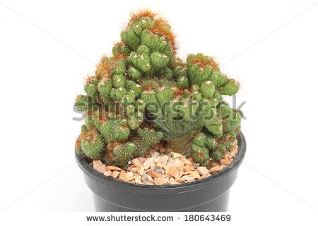 Peruvianus Stock Photos, Royalty.