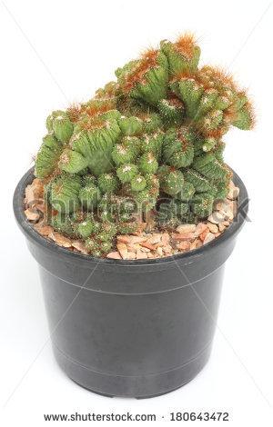 Cereus Peruvianus Monstrosus Cactus In A Pot. Stock Photo.