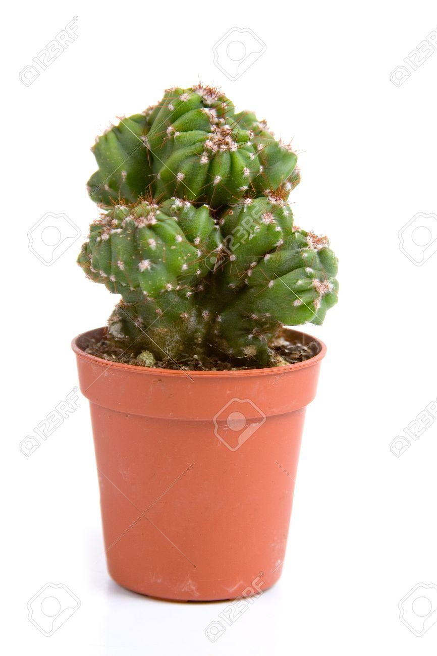 """Cactus (Cereus Peruvianus """"Monstrosus"""") In A Pot On A White."""