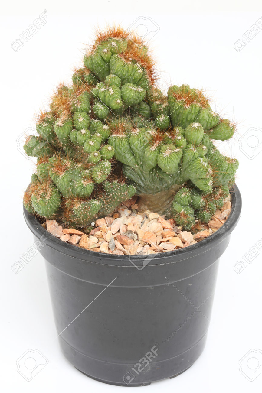 Cereus Peruvianus Monstrosus Cactus In A Pot Stock Photo, Picture.