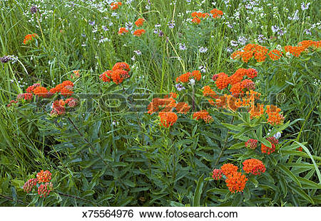 Stock Images of Butterfly Milkweed, (Asclepias tuberosa) and.
