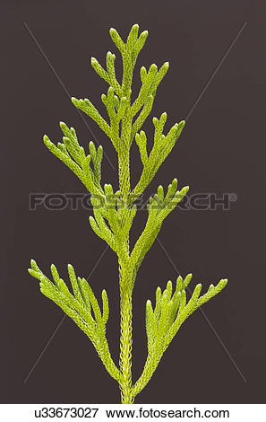 Picture of Club moss, Lycopodium cernuum, Hawaii Volcanoes.