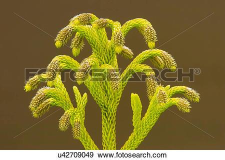Stock Photograph of Club moss, Lycopodium cernuum, Hawaii.