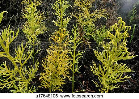 Stock Image of Giant club moss, Lycopodium cernuum, Hawaii.