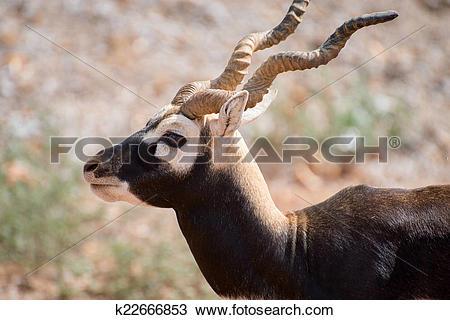 Stock Photo of Blackbuck walking in national park. Antilope.