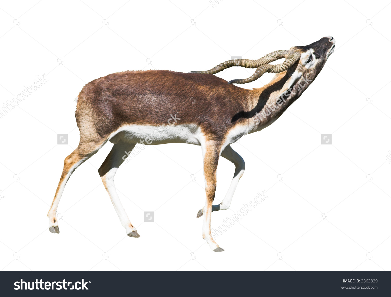 Indian Black Buck Antelope (Antelope Cervicapra L.) Isolated Over.