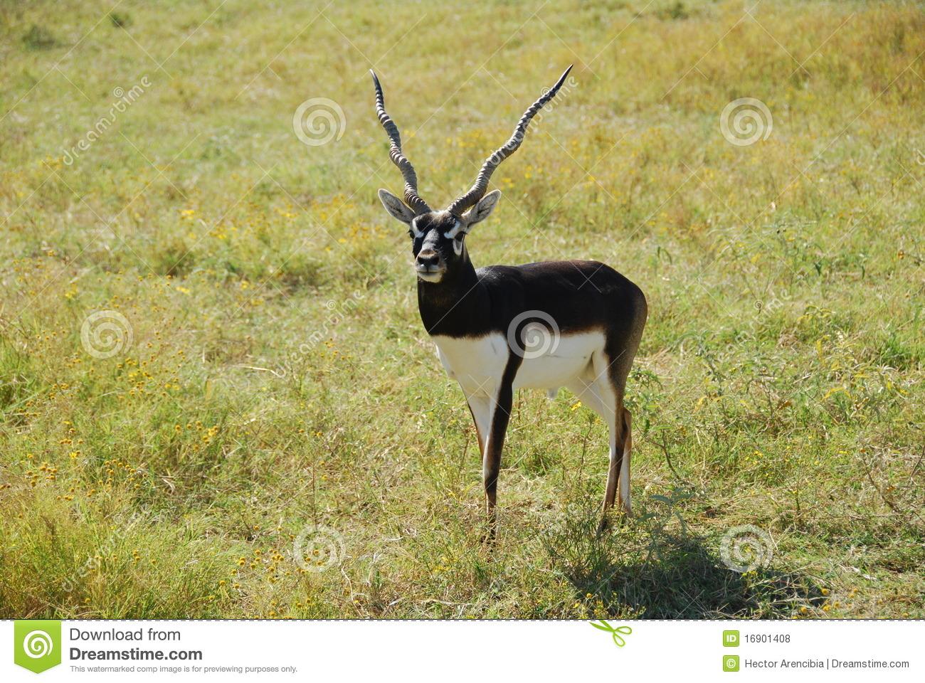 Blackbuck Antelope (antilope Cervicapra) Royalty Free Stock Photos.