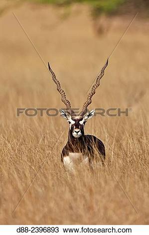 Stock Photo of India,Gujarat,Balckbuck national park,Blackbuck.