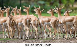 Stock Images of Blackbuck walking in national park. Antilope.