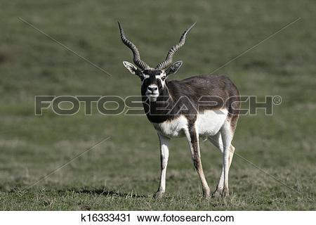 Stock Photography of Blackbuck, Antilope cervicapra k16333431.