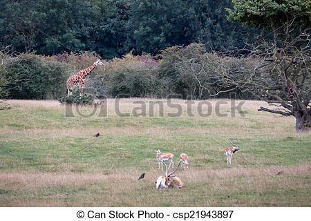 Stock Photographs of Blackbuck (Antilope cervicapra) with Giraffe.