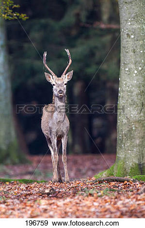 Stock Photograph of Red Deer (Cervus elaphus). Emaciated young.