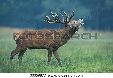 Picture of Cervus, Cervus elaphus, Juniors, animal, animals.