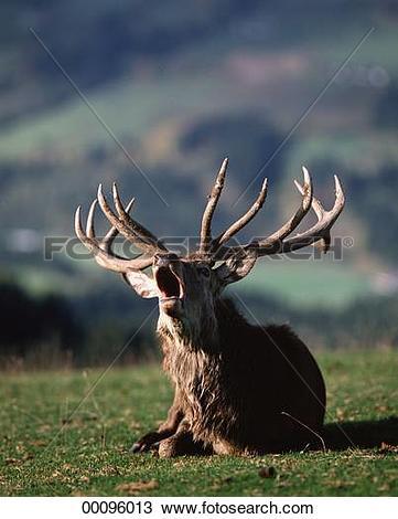 Stock Photo of Cervus, Cervus elaphus, Juniors, animal, animals.