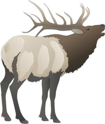 Cervus elaphus (Red Deer) : buck.