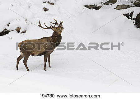 Stock Photography of Red Deer (Cervus elaphus). Stag standing on a.