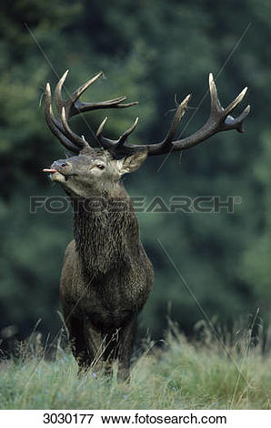 Picture of Red Deer bull (Cervus elaphus) sticking out the tongue.