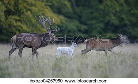 Stock Photography of Rothirsch (Cervus elaphus), Familie mit.